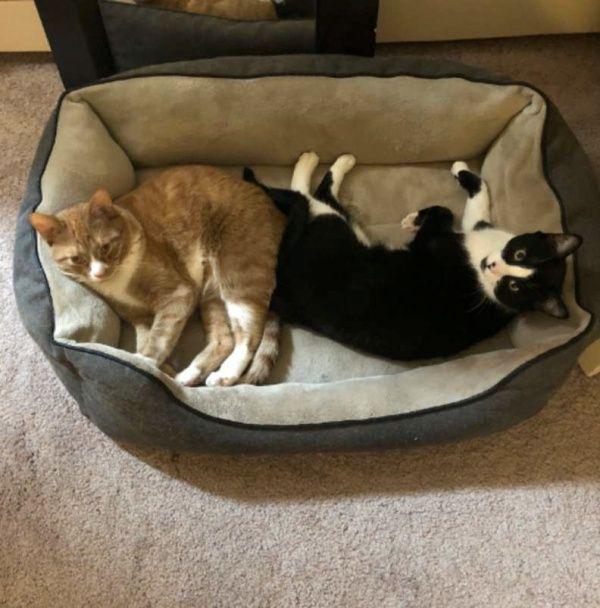▲橘白貓諾亞和賓士貓諾曼一見面就稱兄道弟,常打打鬧鬧的。(圖/Emma