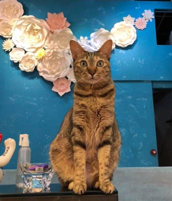▲店貓「林棠棠」是一隻相當稱職的貓店長,經常站在櫃台上注意店裡大大小小事,日前連同事的咖啡牠也要用尾巴「幫忙攪拌」,真的非常貼心!(圖/粉專AA+artist77亮妍生活館授權提供)