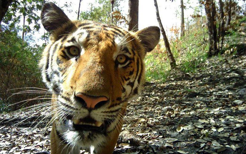 「好奇虎」出沒看鏡頭!泰國野外監視器意外成玩具