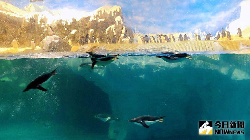 ▲ 屏東海生館育有全國最多種類及數量的極地企鵝,此時正迎來「企鵝繁殖季」。(資料照/記者陳美嘉攝)