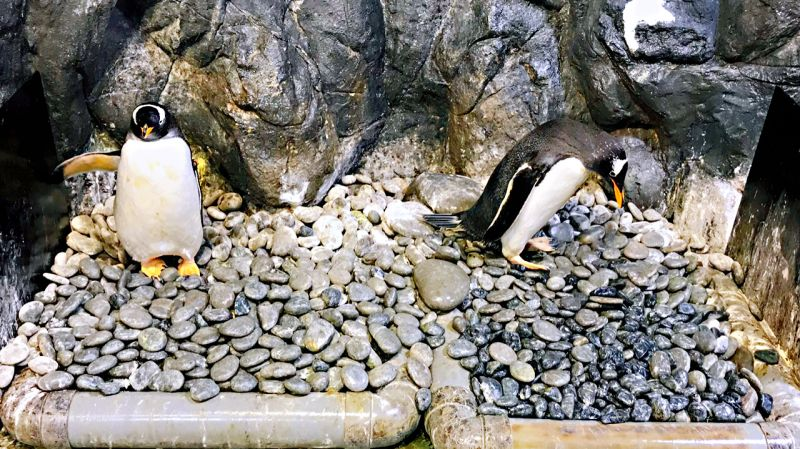 ▲屏東海生館此時正迎來「企鵝繁殖季」,企鵝缸內地面鋪上許多鵝卵石,讓企鵝可以透過「求婚鑽石」叼石頭尋找心愛的另一半。(圖/海生館提供)