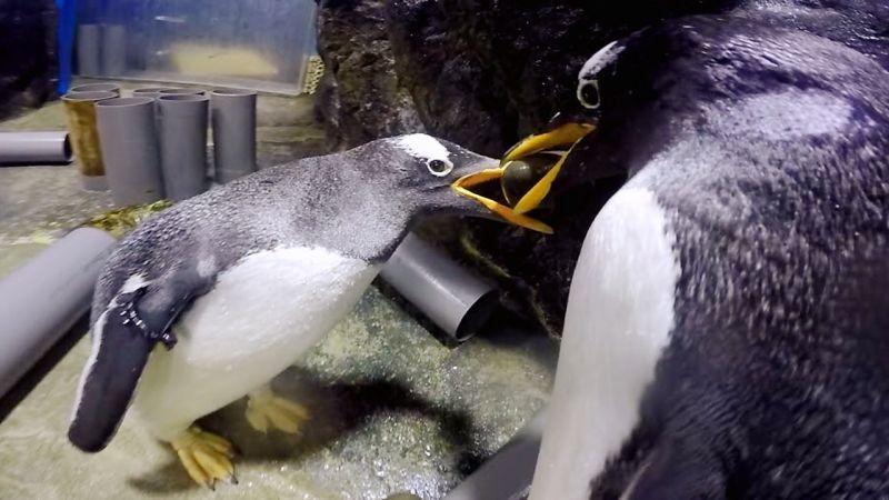 ▲企鵝透過「求婚鑽石」叼石頭尋找心愛的另一半。(圖/海生館提供)