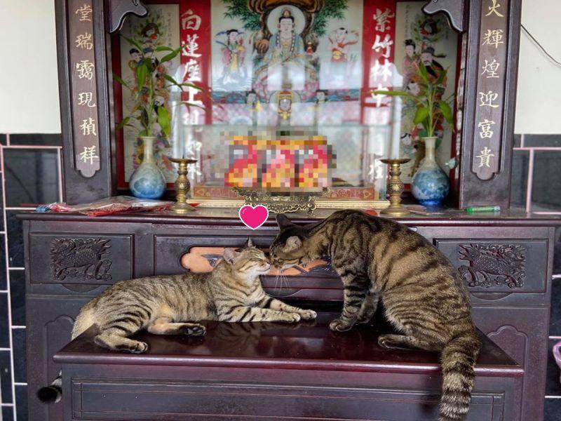 兩隻虎斑貓神桌上「曬恩愛」 媽笑:是要神明幫忙公證嗎?