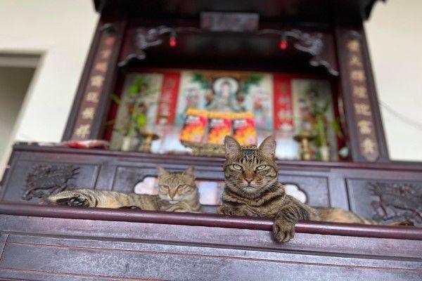 ▲網友吳小姐的虎斑貓兄妹最近很喜歡跳上神桌「曬恩愛」(圖/粉專百樂門食堂授權提供)