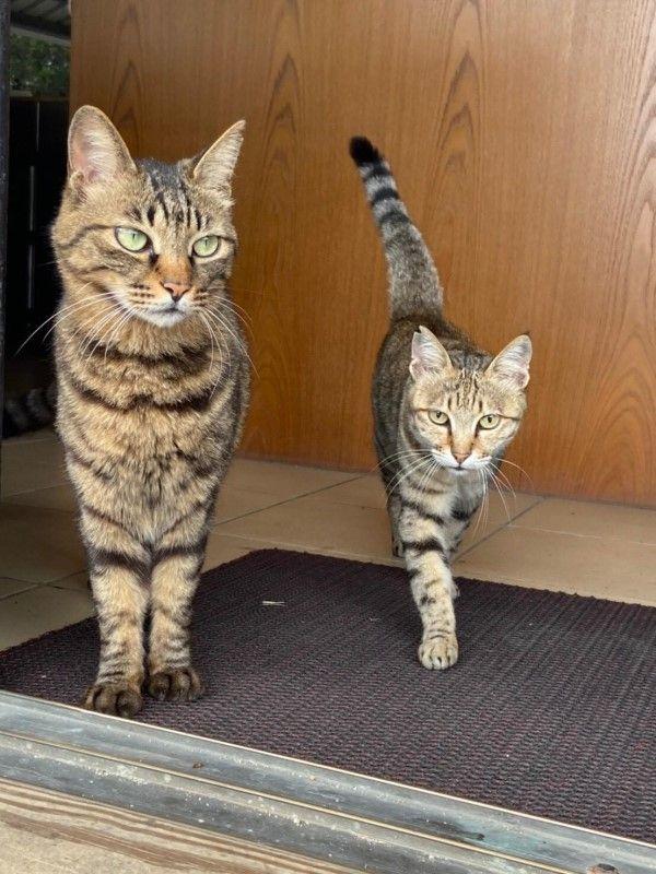 ▲「大黑」(左)與「牛肉麵」(右)是一對感情非常好的虎斑貓兄妹(圖/粉專百樂門食堂授權提供)