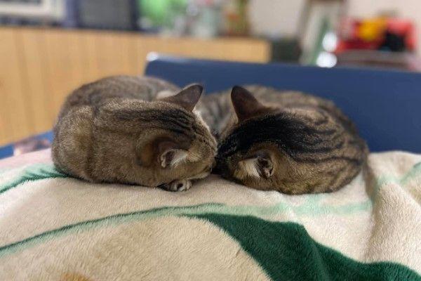 ▲兩隻貓咪從浪浪到被收編總是形影不離,到現在睡覺也要窩在一起(圖/粉專百樂門食堂授權提供)