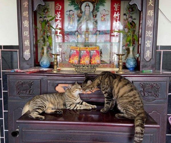 ▲日前兩隻貓咪跳上神桌親親,被吳小姐笑說:「這是(在神明前)公證的意思嗎?」(圖/粉專百樂門食堂授權提供)