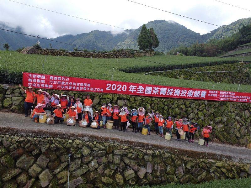 ▲農委會今(24)日上午在嘉義縣舉辦「2020全國茶菁採摘技術競賽」,有來自全國100多位採茶好手報名參賽。(圖/嘉義縣政府提供)