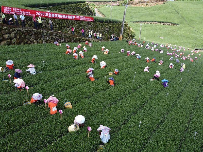 ▲農委會在嘉義縣舉辦「2020全國茶菁採摘技術競賽」,有來自全國100多位採茶好手報名各顯身手參賽。(圖/嘉義縣政府提供)