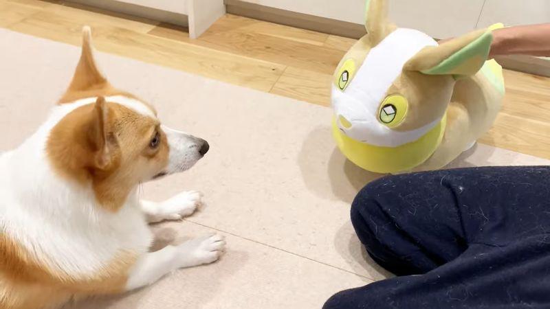▲柯基(盯)是偶的短腿兄弟!(圖/翻攝自YouTube@コーギーむぎ)