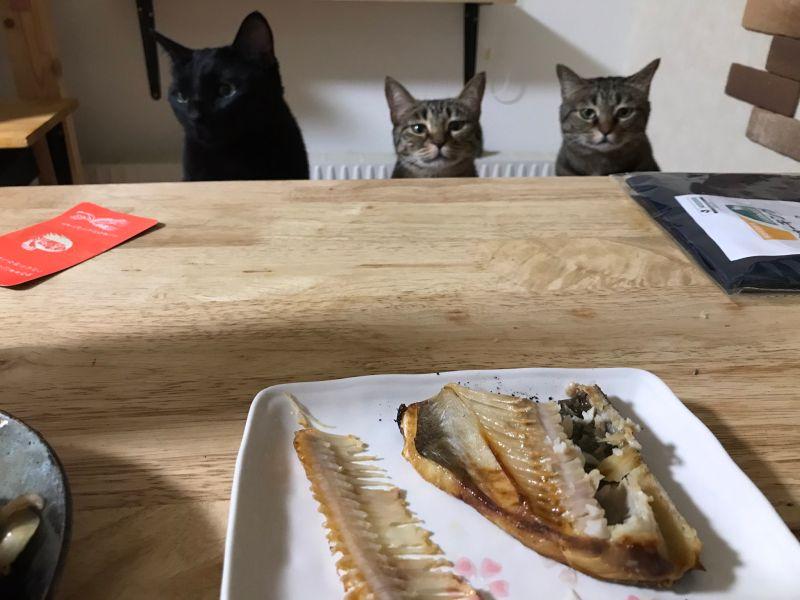 主人享用魚料理 三隻貓坐在餐桌前「眼神憂傷」:我呢?