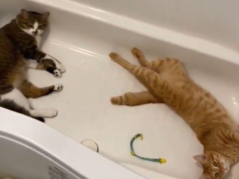 夏天最夯避暑勝地!雙貓霸佔浴缸爽躺:「這裡卡涼啦~」