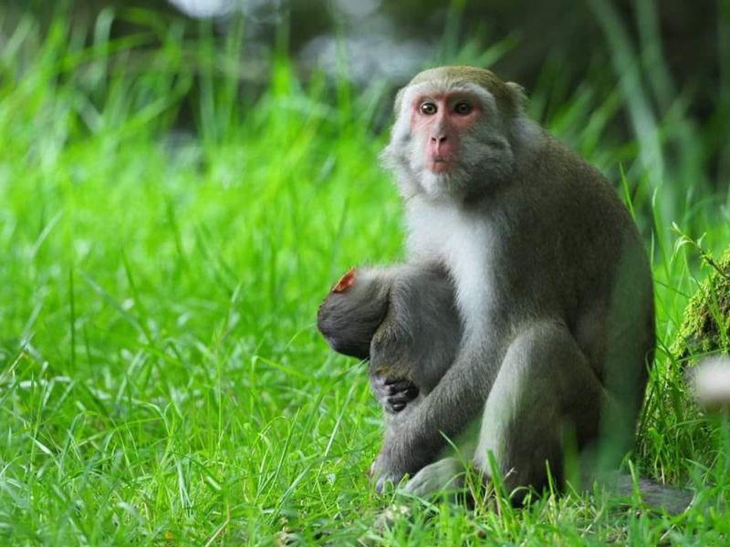 玉山國家公園小彌猴慘遭路殺 猴媽媽傷心欲絕抱屍不放手