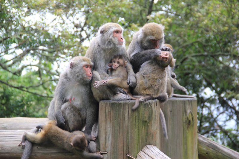 ▲在玉山國家公園住著一大群台灣獼猴。(圖/玉山國家公園管理處授權、印莉敏拍攝)