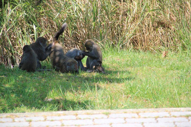 ▲玉管處呼籲上山的遊客,如遇到彌猴請減速慢行。(圖/玉山國家公園管理處授權、印莉敏拍攝)