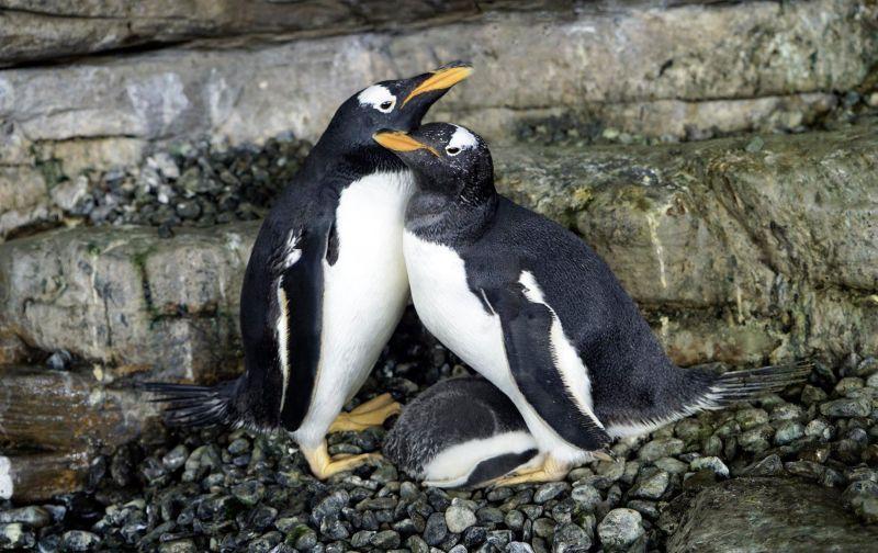 企鵝也懂<b>多元成家</b>!西班牙水族館喜迎女女伴侶成功孵蛋