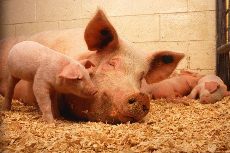 名家論壇》<b>單厚之</b>/反對美豬就是扯台灣後腿?
