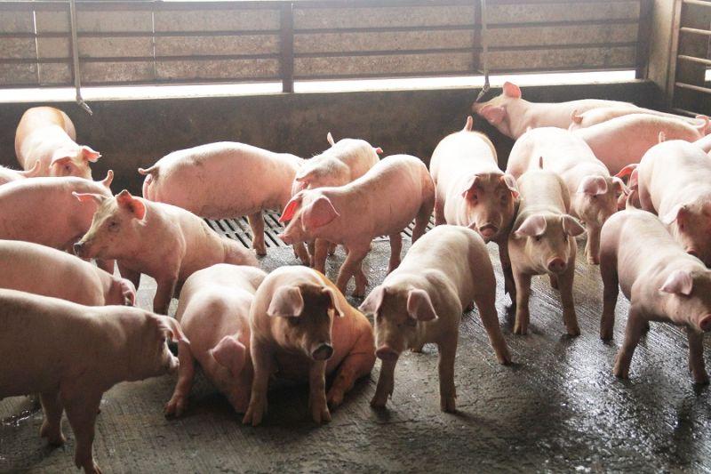 因應美豬、美牛開放進口,嘉義縣將推國產豬肉標章。(圖/嘉義縣政府提供)
