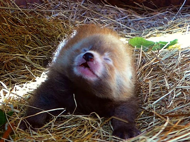 荷蘭動物園喜迎<b>小貓熊</b>寶寶 鏡頭前突然「哈啾」萌翻大家