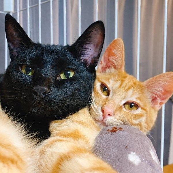 ▲橘貓Chikuwa與黑貓Konbu都是推主的心頭寶貝,推主也表示常常會跟牠們「聊聊談心事」(圖/twitter@T_REX_RED_Tiger)