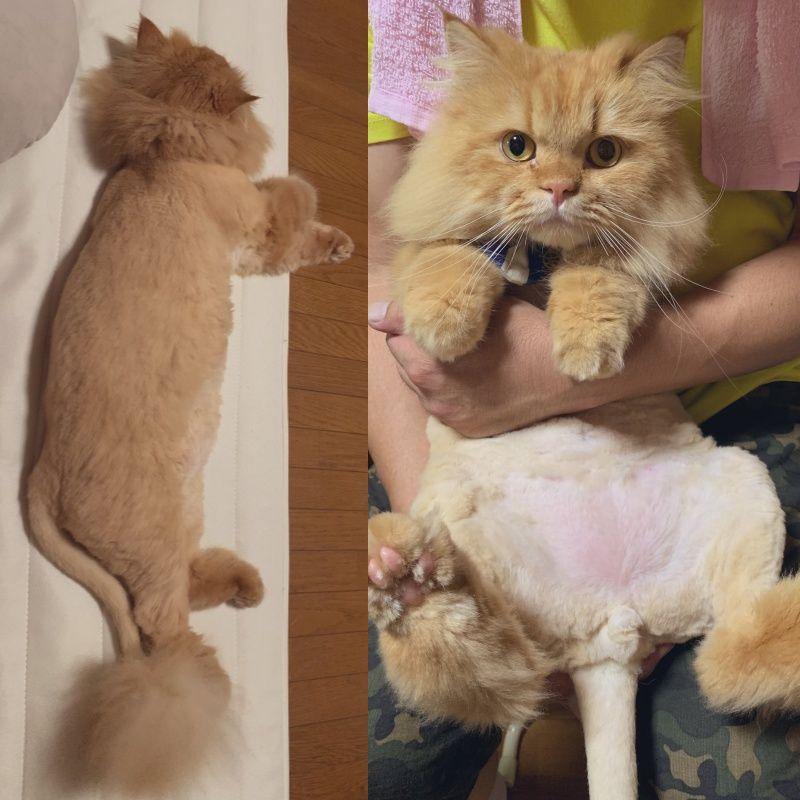 ▲剃掉毛髮背影就像是獅子一樣。(圖/Twitter@kuraaag)