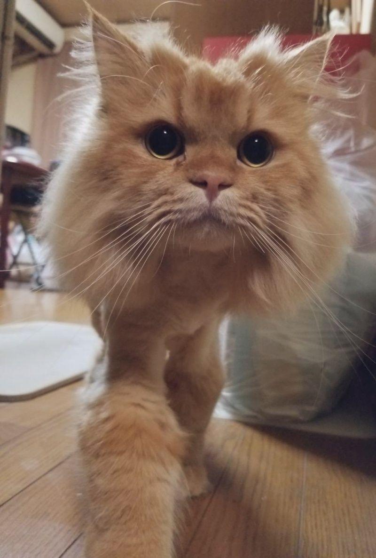 ▲貓咪平常臉像個飯糰一樣圓圓的。(圖/Twitter@kuraaag)