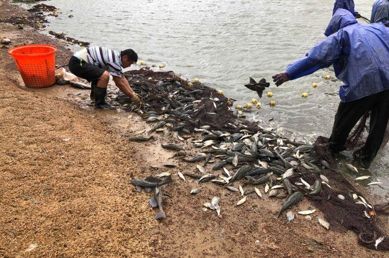 影/琵琶鼠魚肆虐生態浩劫 桃議員疾呼:救救埤塘生態