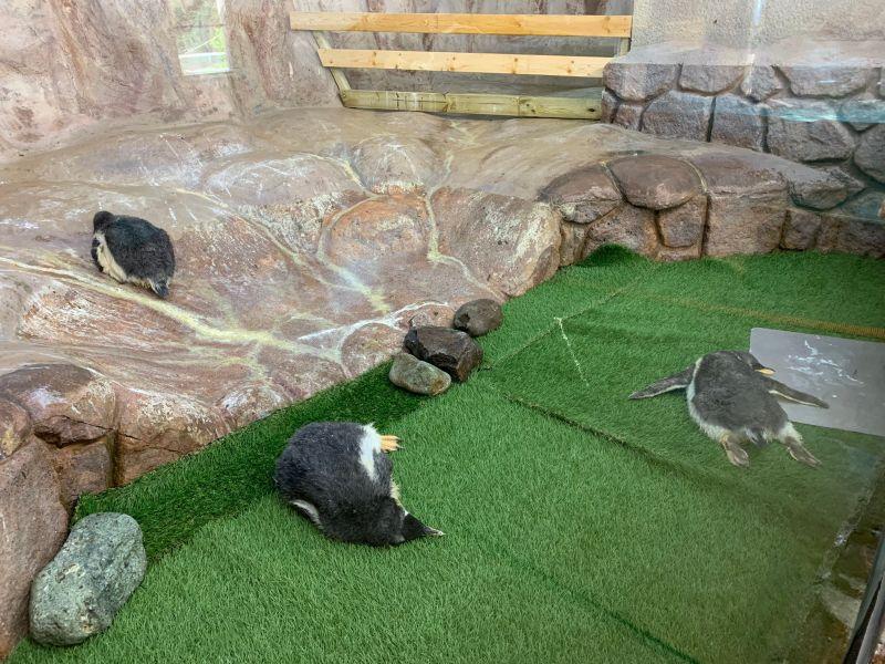 日本動物園驚見企鵝群大字型趴地 遊客:「蝦米情形?」