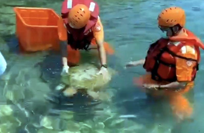 可憐綠蠵龜恐曬昏頭 海巡隨船悉心護送醫治