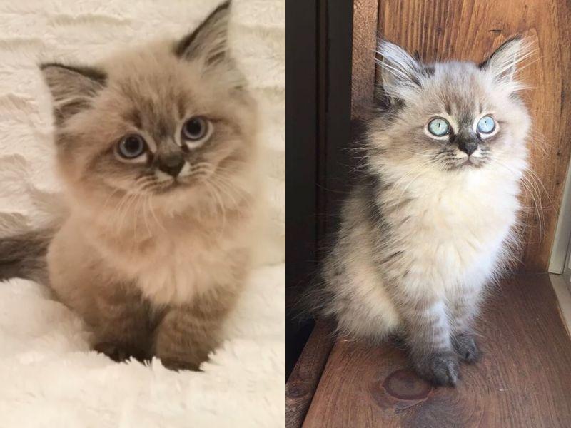 萌眼小布偶貓長大竟凶神惡煞殺氣十足 網:是經歷了什麼?