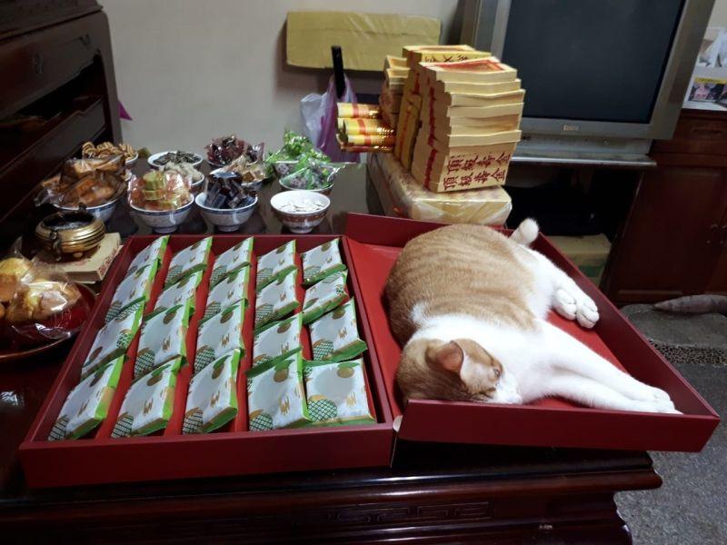 媽在家拜拜供桌出現「大禮貓」 網笑:神明也要吸貓!