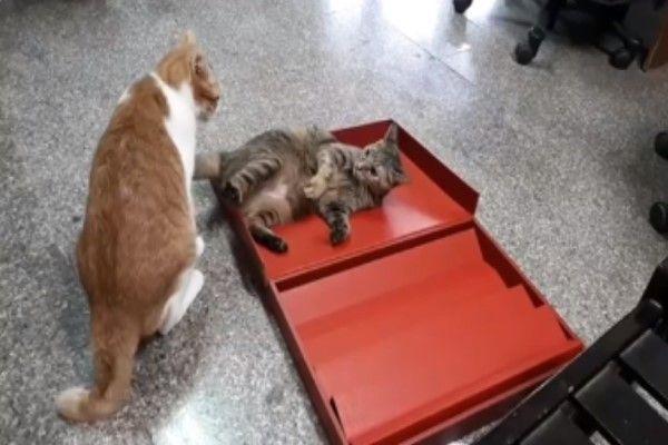 ▲詹媽媽後來將禮盒拿下來給貓咪玩,果然貓咪都是紙盒控!(圖/網友詹小姐授權提供)