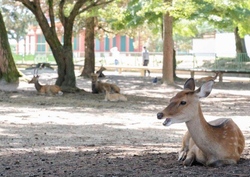 ▲奈良鹿少了遊客餵食,大部分的鹿變得更健康了。(圖/翻攝自《產經新聞》)