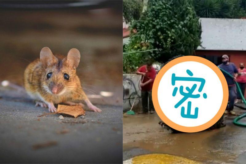 ▲墨西哥的清潔隊,從下水道沖出一隻比人大的「巨鼠」。(示意圖/翻攝自《Enrique Serna臉書》及《pixabay》)