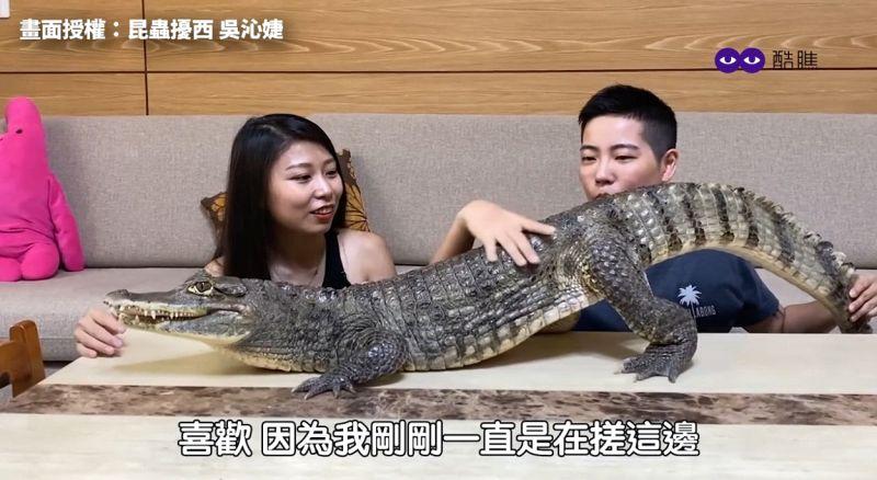 影/正妹馴鱷師的小寶貝!2米長凱門鱷耍萌討摸超可愛