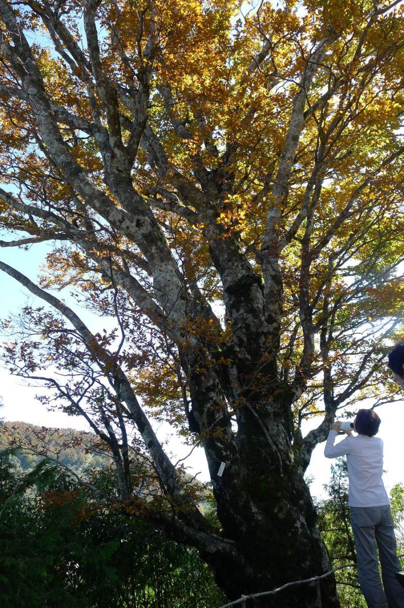 ▲太平山台灣山毛櫸步道每到秋天都會吸引許多民眾前來觀賞。(圖/羅東林區管理處提供)
