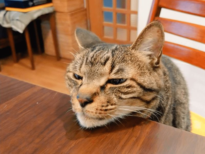 日本貓奴告誡貓手不能伸到餐桌,天才虎斑貓竟「饋下巴」(圖/Twitter@tsudajunko)