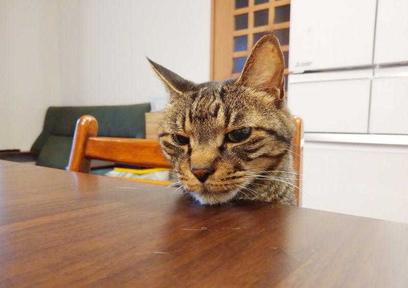 ▲這隻虎斑貓叫「珊瑚」(圖/Twitter@tsudajunko)
