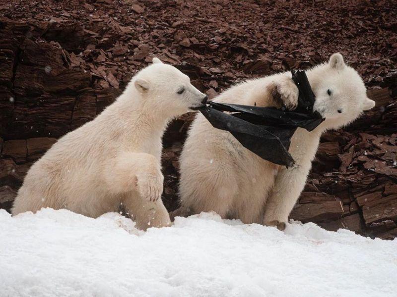 北極熊寶寶「搶塑膠袋」吃下肚 <b>探險隊</b>負責人:好心痛!