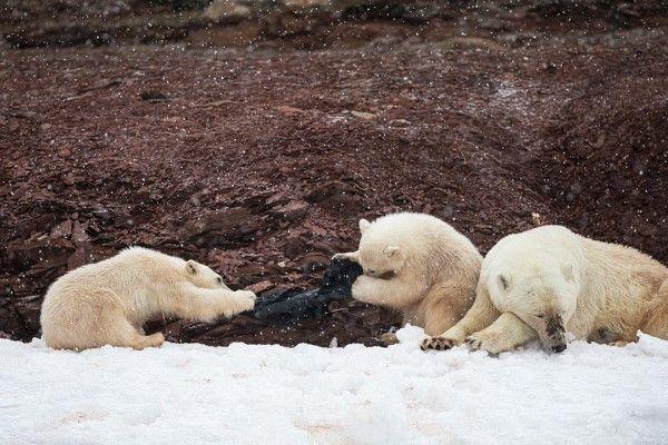 ▲詹斯看見一隻母熊帶著一對北極熊寶寶在雪地上嬉戲,寶寶竟然在雪地裡挖出一黑色塑膠袋,當作玩具互相拉扯(圖/IG@arctic_traveler)