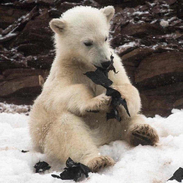 ▲其中一隻北極熊寶寶還將碎片吃下肚,畫面令人震驚又心痛!(圖/翻攝自DailyMai.com)