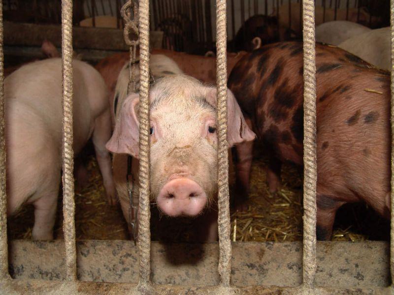 ▲日本農林水產省26日宣布,群馬縣高崎市一座養豬場發現豬隻感染家畜傳染病豬瘟。(圖/翻攝自Peta)