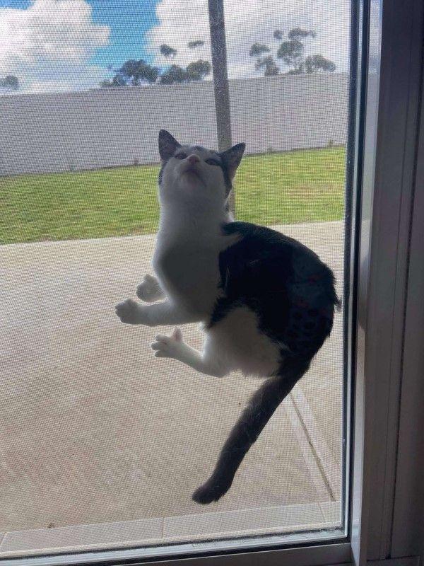 ▲黑白貓塔格與兄弟塔利很喜歡到後院玩耍,經常爬上紗窗要求出門玩(圖/Rodger