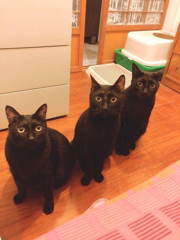 ▲網友杜小姐家的三隻黑貓日前催促奴才放飯,竟意外唱出三重奏(圖/網友杜酸授權提供)