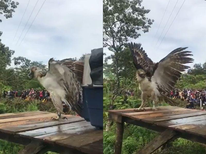 菲律賓鵰重返山林 一出場氣勢超強彷彿全在牠老大掌握之下!