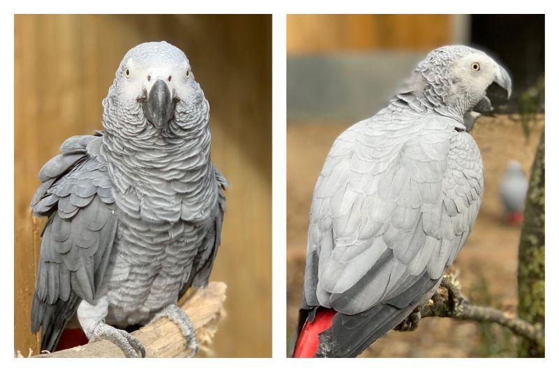▲英國一間動物園的鸚鵡因為太常罵髒話,被請出園區,移入不公開的鳥園「思過」。(圖/翻攝自「Lincolnshire Wildlife Park」的臉書)