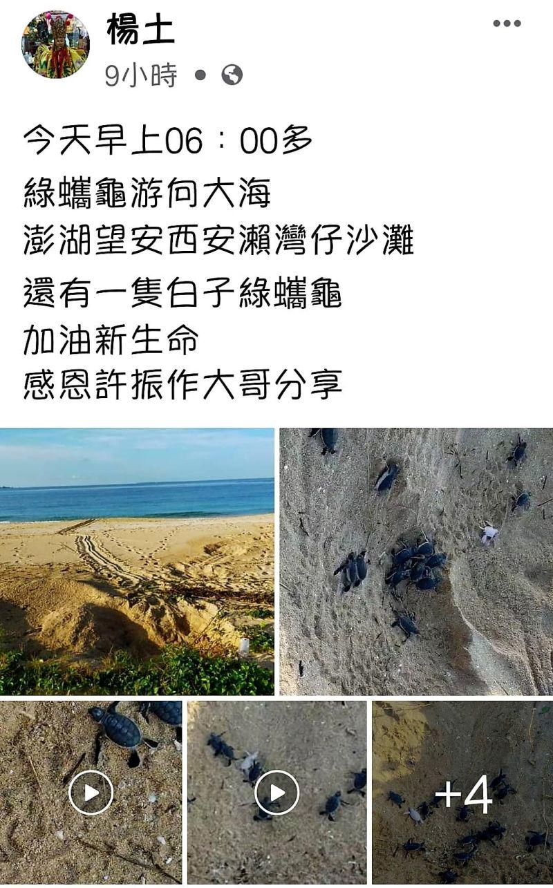 ▲澎管處職員在臉書PO文表示,今日傳出振奮人心的喜訊,出現相當罕見的小白子綠蠵龜。(圖/翻攝自臉書)