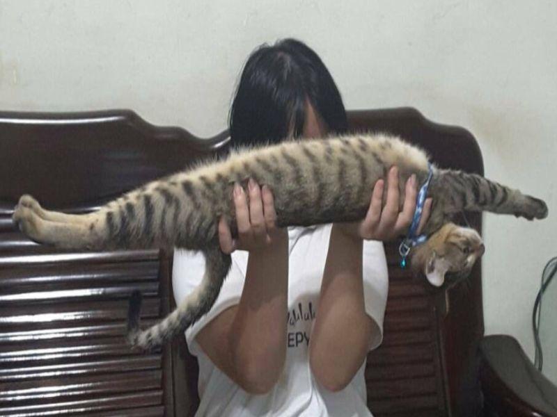 虎斑貓「被舉著就伸直仰睡」 網笑翻:法國麵喵?