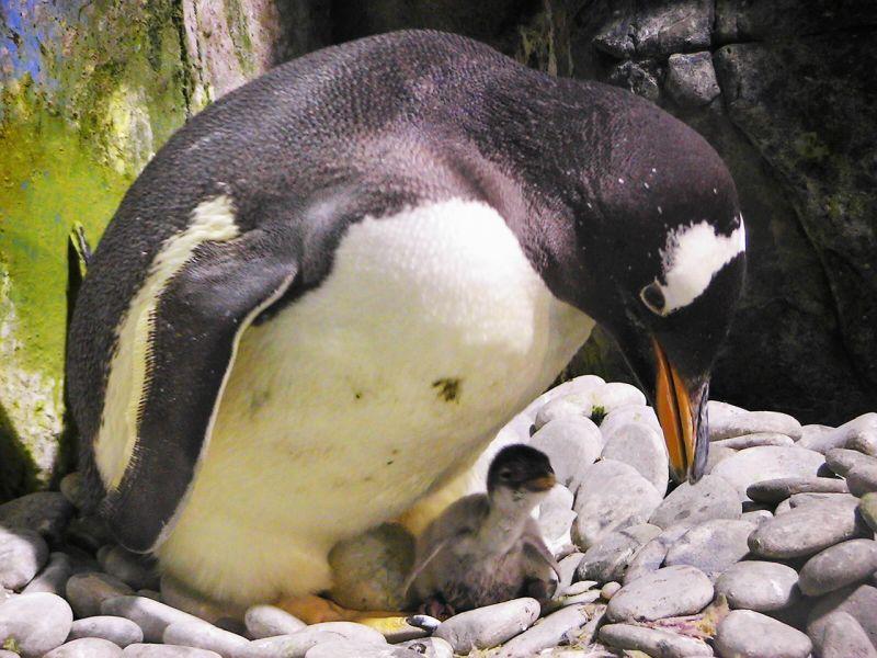 ▲屏東海生館企鵝繁殖季在每年的8到12月展開。(圖/屏東海生館提供)