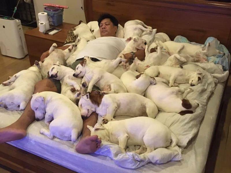 ▲泰國一名爸爸養了20隻㹴犬,日前他們一起把床擠爆睡滿的照片爆紅。(圖/Facebook@หมาวัดหลวง)